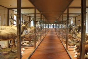 Realization display cases at the Certosa di Calci natural history museum (Italy)